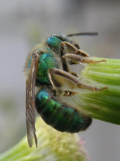 Unidentified Insect 103 - Agapostemon - female
