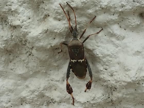 Leptoglossus clypealis? - Leptoglossus clypealis