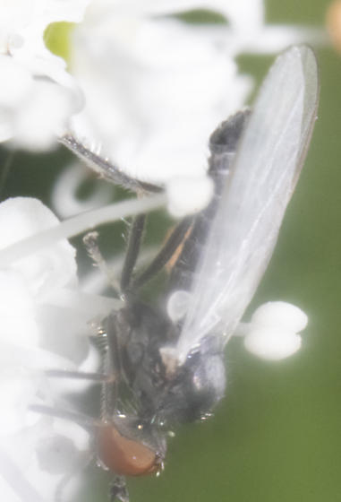 Species ID possible? - Rhamphomyia