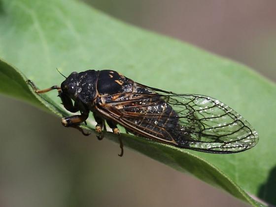 Cicada ID - Okanagana canadensis