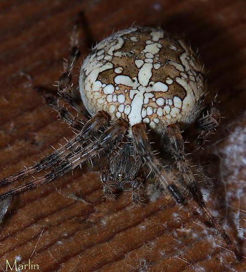 Araneus  - Araneus diadematus - female