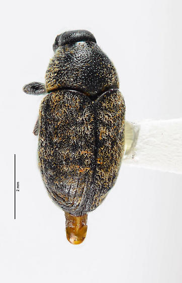 Broad-nosed Weevil? - Larinus - male