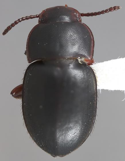 Notibius laticeps - Notibius puberulus