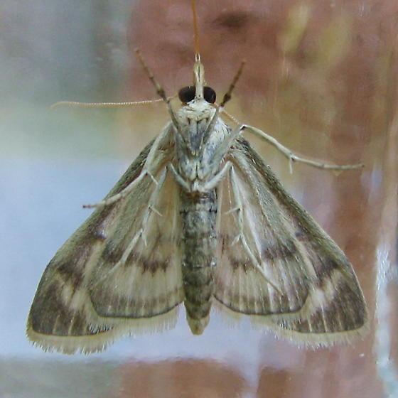 European Corn Borer Moth ? - Paracorsia repandalis