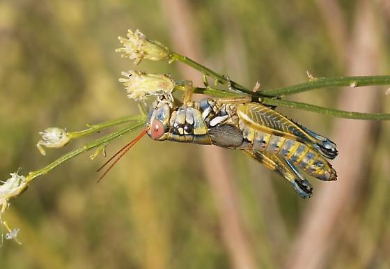 Spurthroat. M. aridus? - Melanoplus aridus