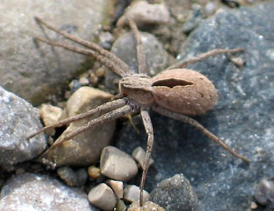stab mark spider - Thanatus