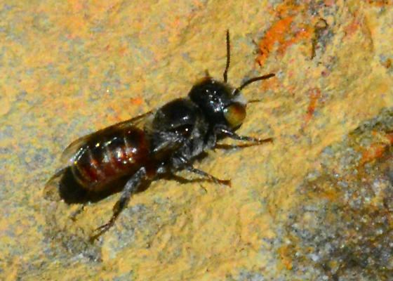 Silverado Bee ISO Love - male