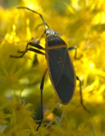Black bug with orange border - Largus succinctus