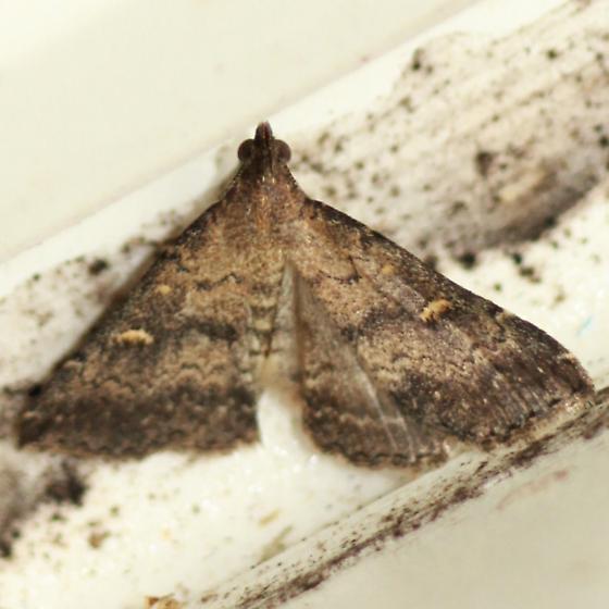 Smoky Tetanolita - Hodges#8366 - Dorsal - Tetanolita mynesalis