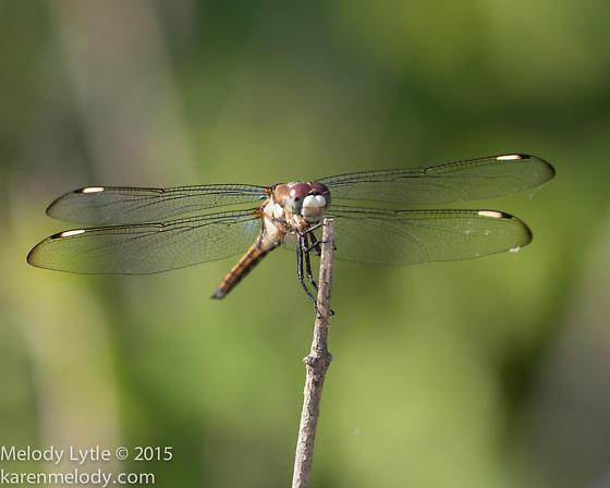 dragonfly - Libellula comanche - male