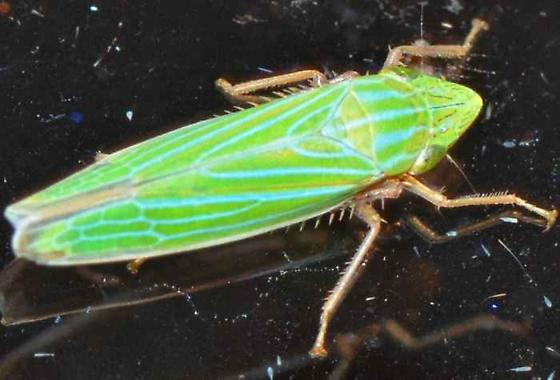 Green Sharpshooter with Blue/Cyan Stripes - Draeculacephala mollipes