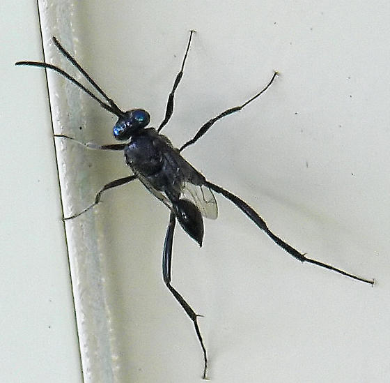 What kind of wasp is this?