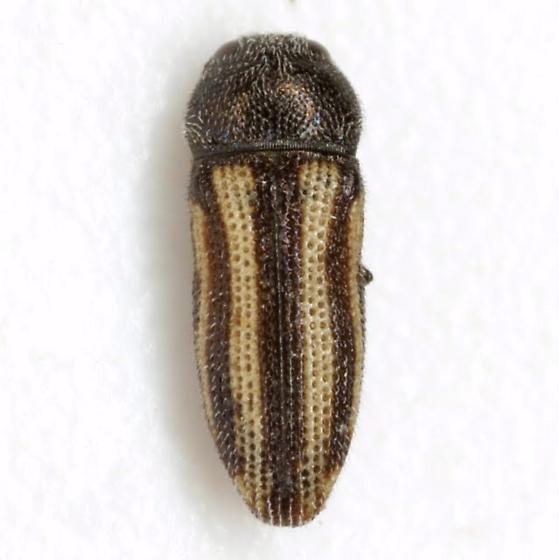 Acmaeodera quadrivittatoides Nelson & Westcott - Acmaeodera quadrivittatoides