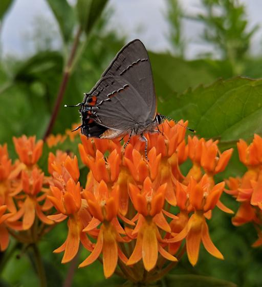 Gray Hairstreak Butterfly - Strymon melinus