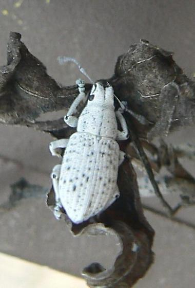 bug - Artipus floridanus