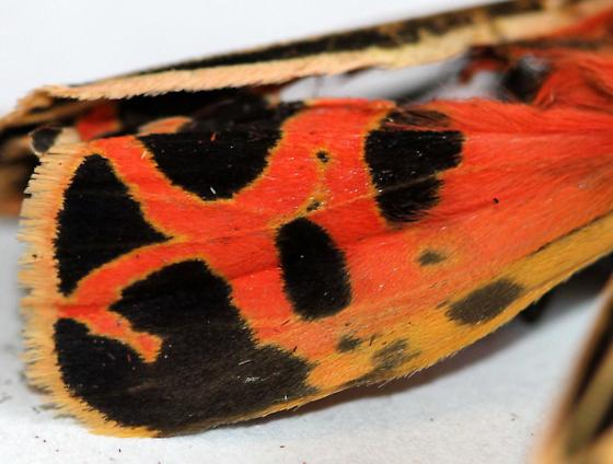 Tiger Moth - Grammia sp. - Grammia