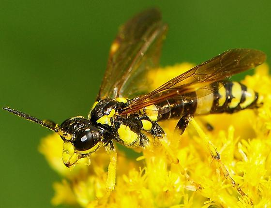 Common Sawflies Tenthredo basilaris - Tenthredo basilaris - female