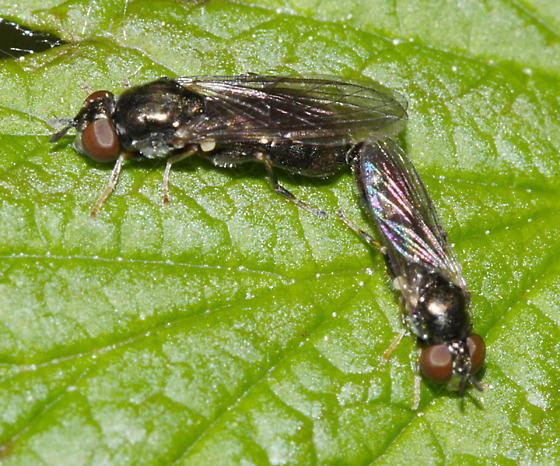 small flies - Neoascia