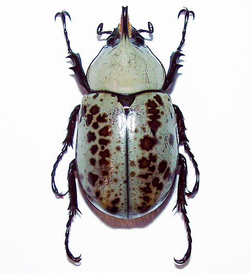 Grant's Hercules Beetle, Minor Male - Dynastes grantii - male