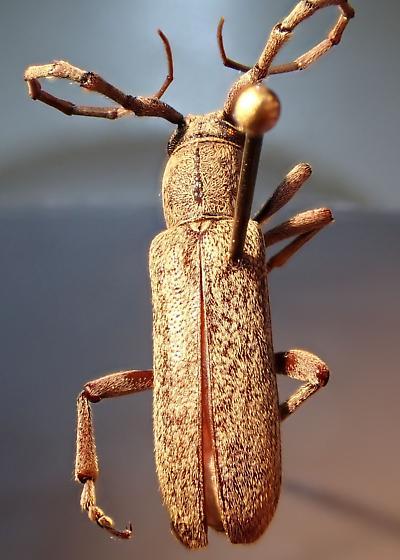 Mojave cerambycid - Anelaphus brevidens