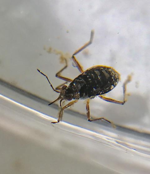 Water Bug/Hemiptera