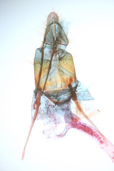 Unknown - Aphomia - female