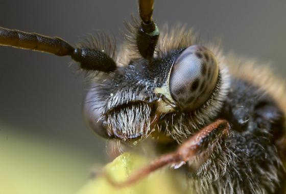 Nomad Bee - Nomada