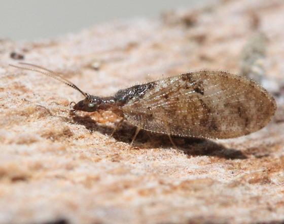 Brown lacewing - Sympherobius barberi
