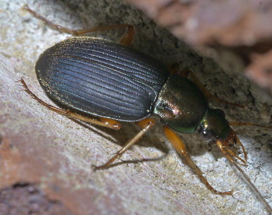 Black and greenish ground beetle - Chlaenius tricolor