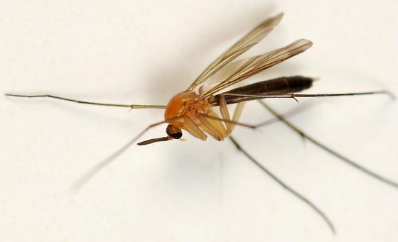 predatory fungus gnat - female