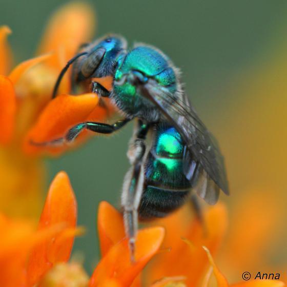 Sweat Bee - Augochloropsis metallica - female