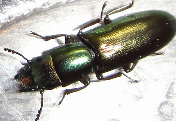 Darkling of some type? - Temnoscheila virescens