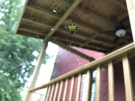 Spinybacked Orbweaver - Gasteracantha cancriformis