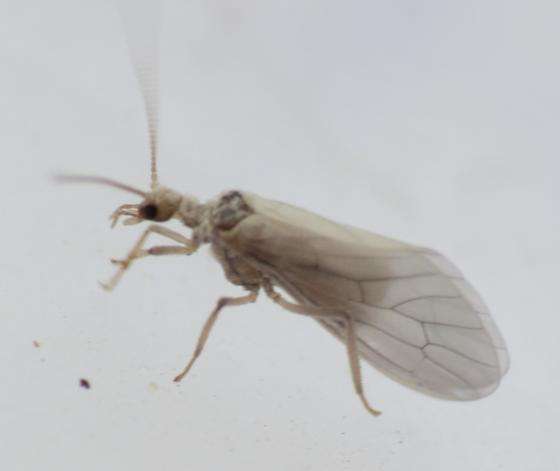 Small White Caddis Fly?