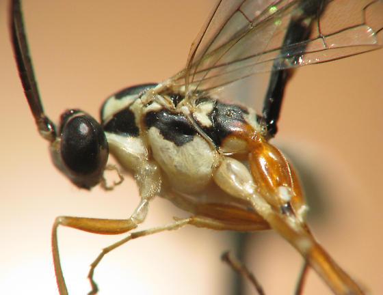 Ichneumonid reared from caterpillar - male