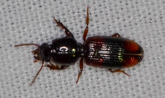 unknown beetle - Paraclivina bipustulata