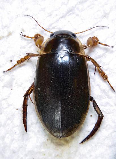 Dytiscus hatchi ? - Dytiscus hatchi - male
