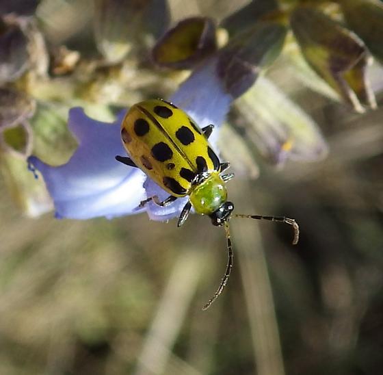 Yellow with Black Spots - Diabrotica undecimpunctata