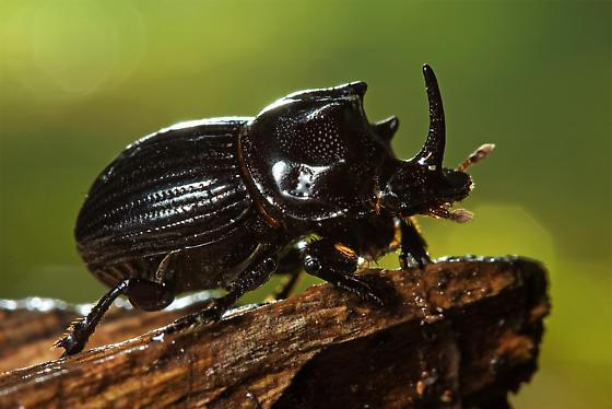 Scarab Beetle? - Copris remotus - male