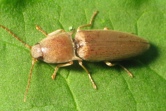 Elaterid - Conoderus lividus