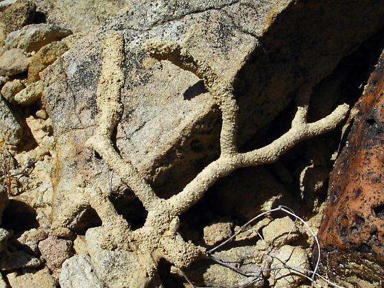 Gnathamitermes tubiformans - Gnathamitermes