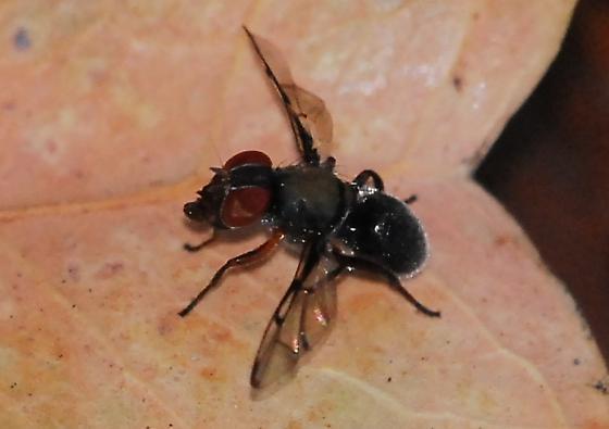 Smaller boatman fly - Pogonortalis doclea