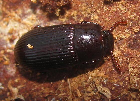 Darkling beetle - Uloma imberbis