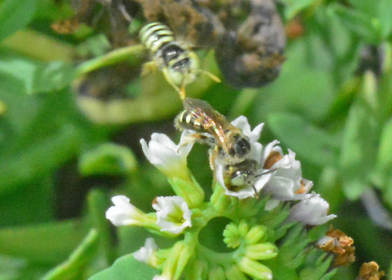 Tiny, fast-moving bees on small, low flowers - Calliopsis - male - female