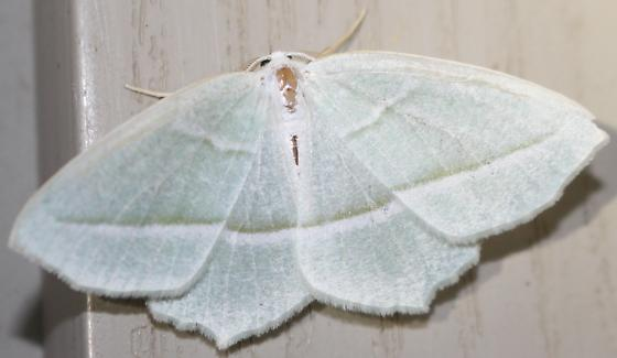 Pale Beauty - Hodges#6796 - Campaea perlata