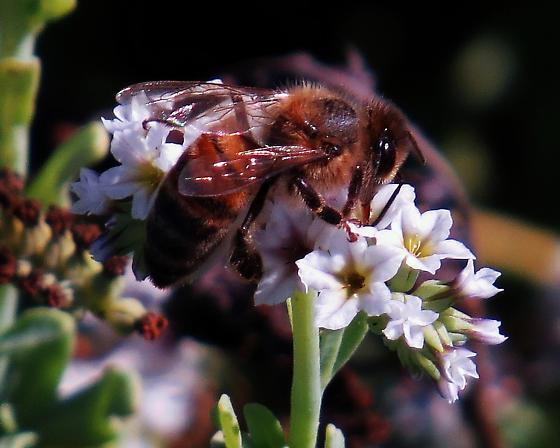 Very Large Honey Bee - Apis mellifera