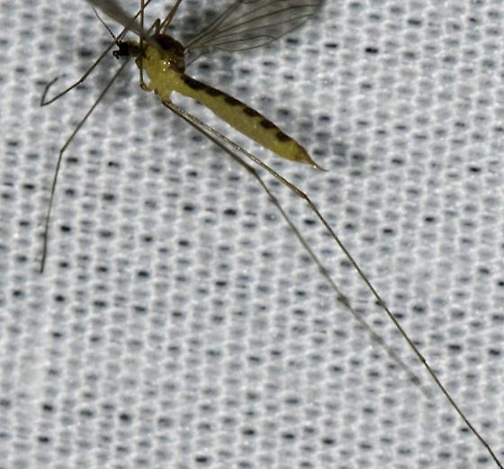 Diptera - female
