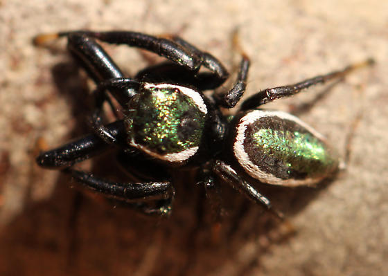Iridescent Salticid with Enlarged Palps and White Markings - Messua limbata