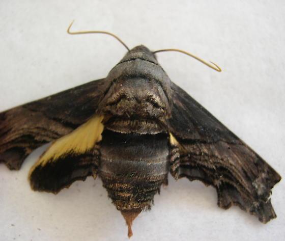 Bark moth? - Sphecodina abbottii