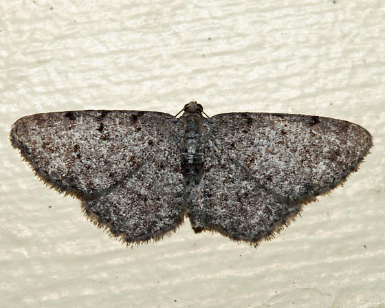 Four-Barred Gray - Aethalura intertexta